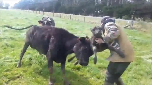 маленькие бычки видео