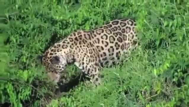 ягуары ловят крокодилов