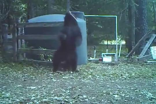 Видео о том как медведи охраняли марихуану st и линда марихуана