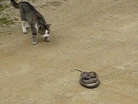 как кошка ловит змею видео